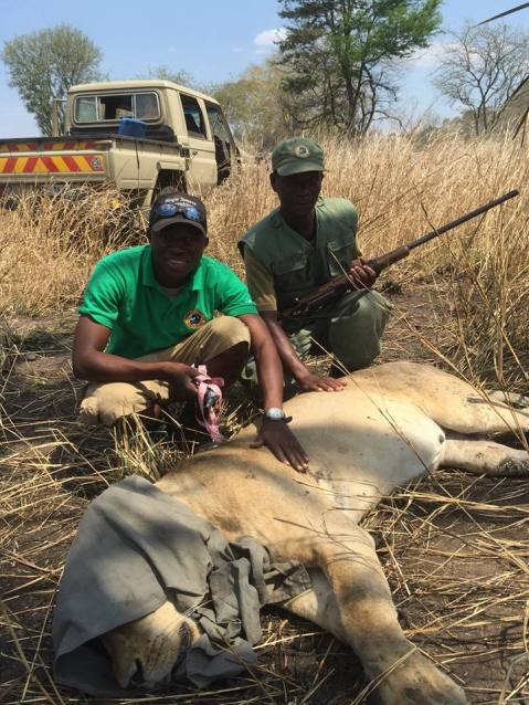 Tonga Torcida (lion intern) and Chintsomba (scout) help collar Amelia, a pregnant lioness.