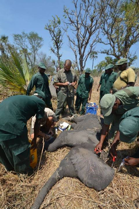 This baby elephant and its mom were both tranquilized so the vet team could remove the baby's snare safely. Our vet, Rui Branco, performed the operation.