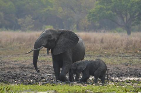 This baby elephant and its mom were both tranquilized so the vet team could remove the baby's snare safely.